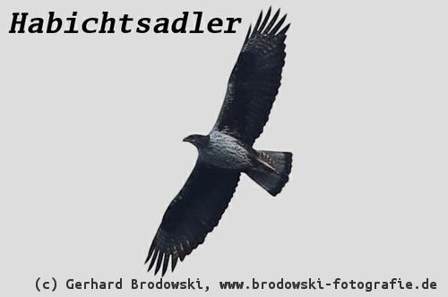 Adler Steckbrief