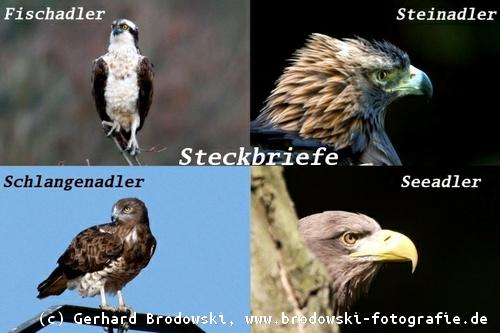 Adler Spannweite