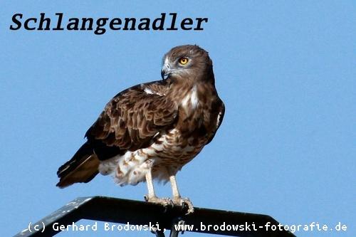 Steckbrief Adler
