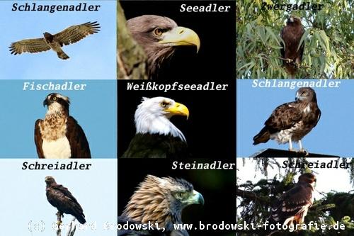 Adler Arten