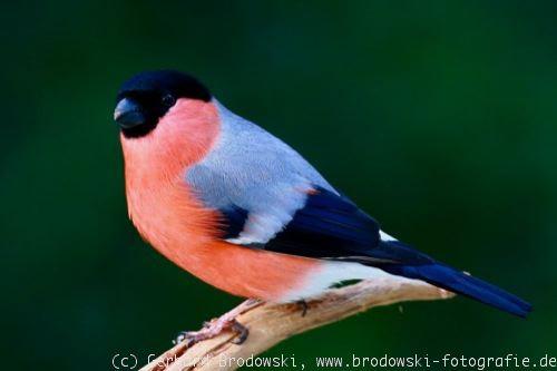 vogelbilder und vogelfotos fotos bilder v gel naturfotografie. Black Bedroom Furniture Sets. Home Design Ideas