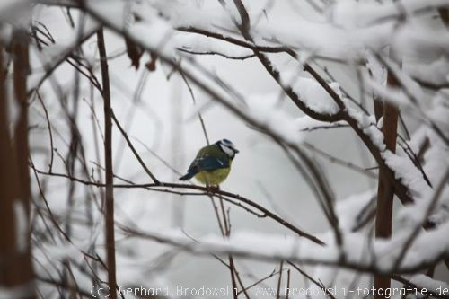 Foto: Blaumeise im Winter
