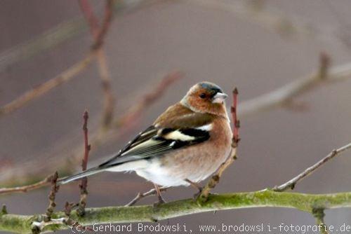 Zur vogelart buchfinken bilder und fotos