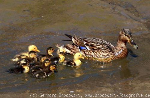 Bilder von Enten-Arten mit Küken