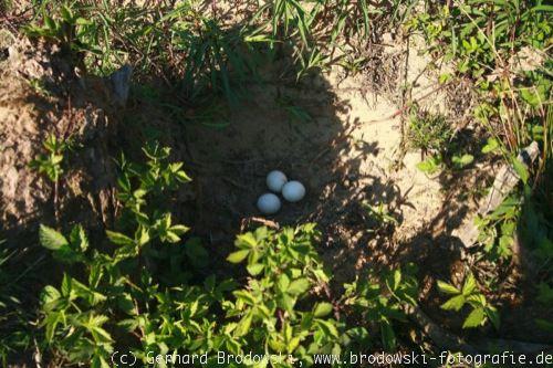 eier im vogelnest