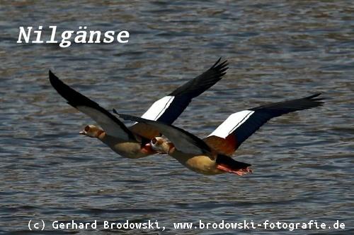 buy popular 685b9 d1160 Gänse - Gänsearten, Steckbriefe, Wildgänse, bestimmen, Bilder