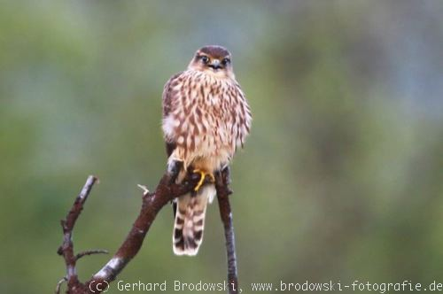 Greifvogel - Merlin (Falco columbarius)