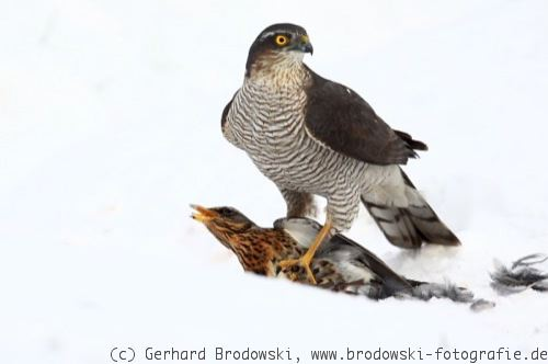 Greifvogel - Sperber (Accipiter nisus) im Winter