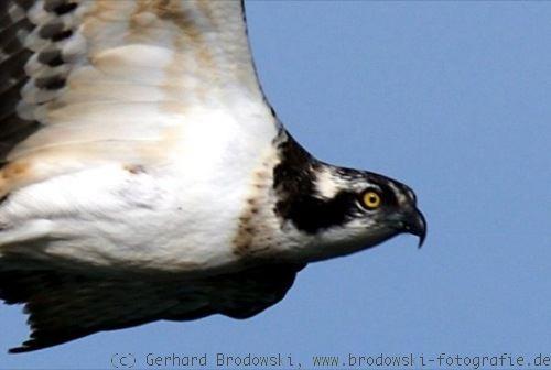 greifvogel steckbrief groesse gewicht alter nahrung feinde
