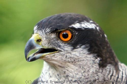 greifvogel steckbrief gr246223e gewicht alter nahrung feinde