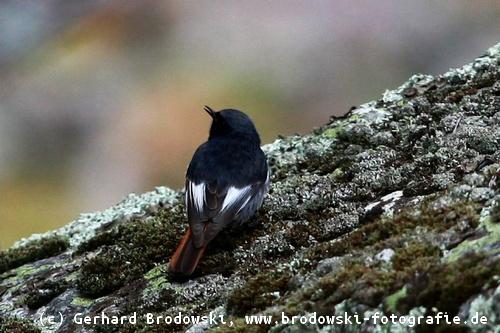 Ein kleiner, weißer, schwarzer Schwanz