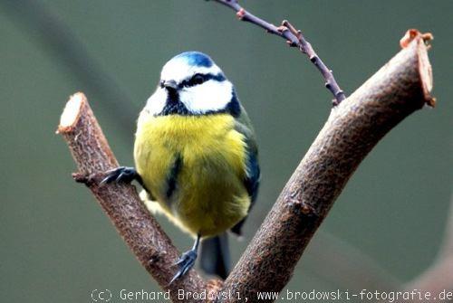 die heimische vogelwelt v gel bestimmen erkennen vogel bilder. Black Bedroom Furniture Sets. Home Design Ideas