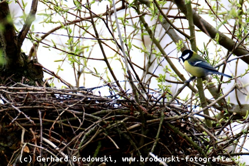 rotkehlchen eier nest