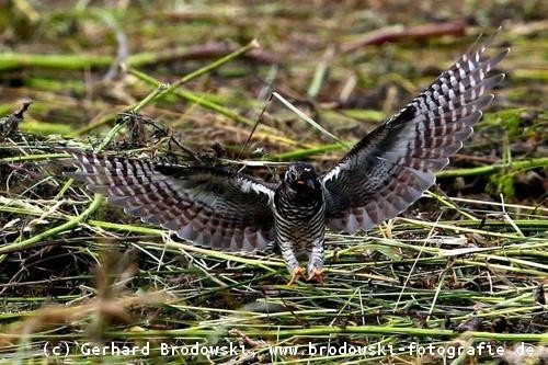 fliegt ein kuckuck übers meer