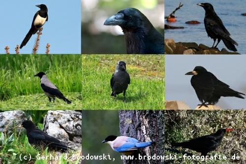 Rabenvögel Steckbrief - Krähe, Größe, Gewicht, Alter, Nahrung, Feinde