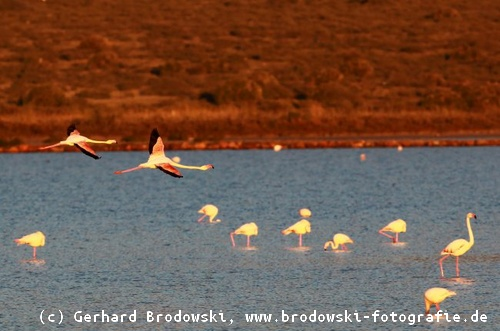 Flamingos in der Abendsonne