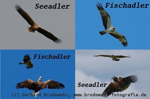 Seeadler und Fischadler - Unterschied im Aussehen, Größe ...