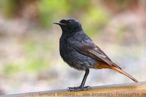singvogel bestimmen heimische singvogelarten in deutschland bilder. Black Bedroom Furniture Sets. Home Design Ideas