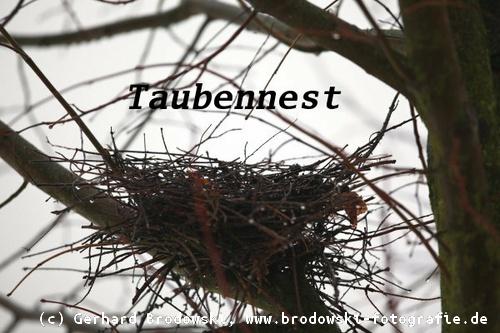 Taubennest Im Baum