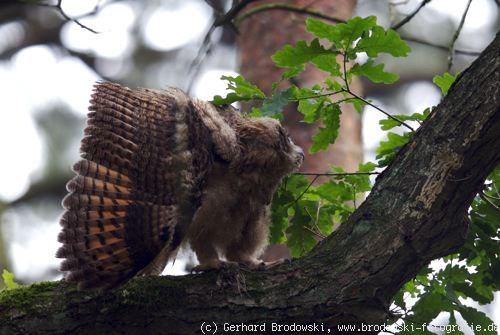 zu welcher gattung gehören eichhörnchen