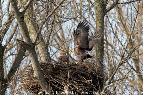 Seeadler bastelt am Nest