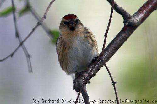 Grüner vogel mit rotem kopf