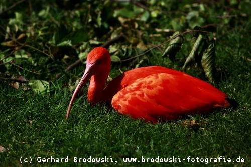 Vogel roter kopf grüner körper