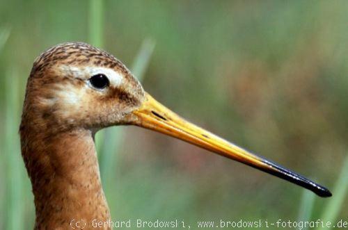 der vogelkopf kleiner vogel schnabelform bestimmen und bilder
