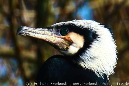Arbeitsblatt Der Vogel : Der vogelkopf kleiner vogel schnabelform bestimmen und